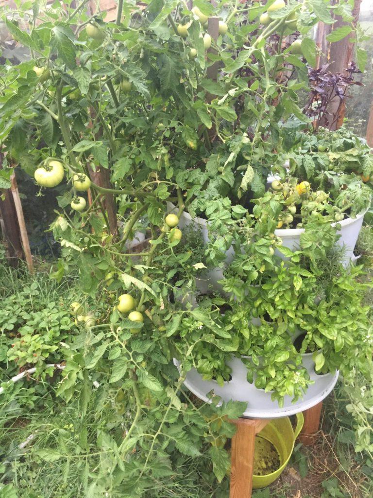Berdík rajčatový
