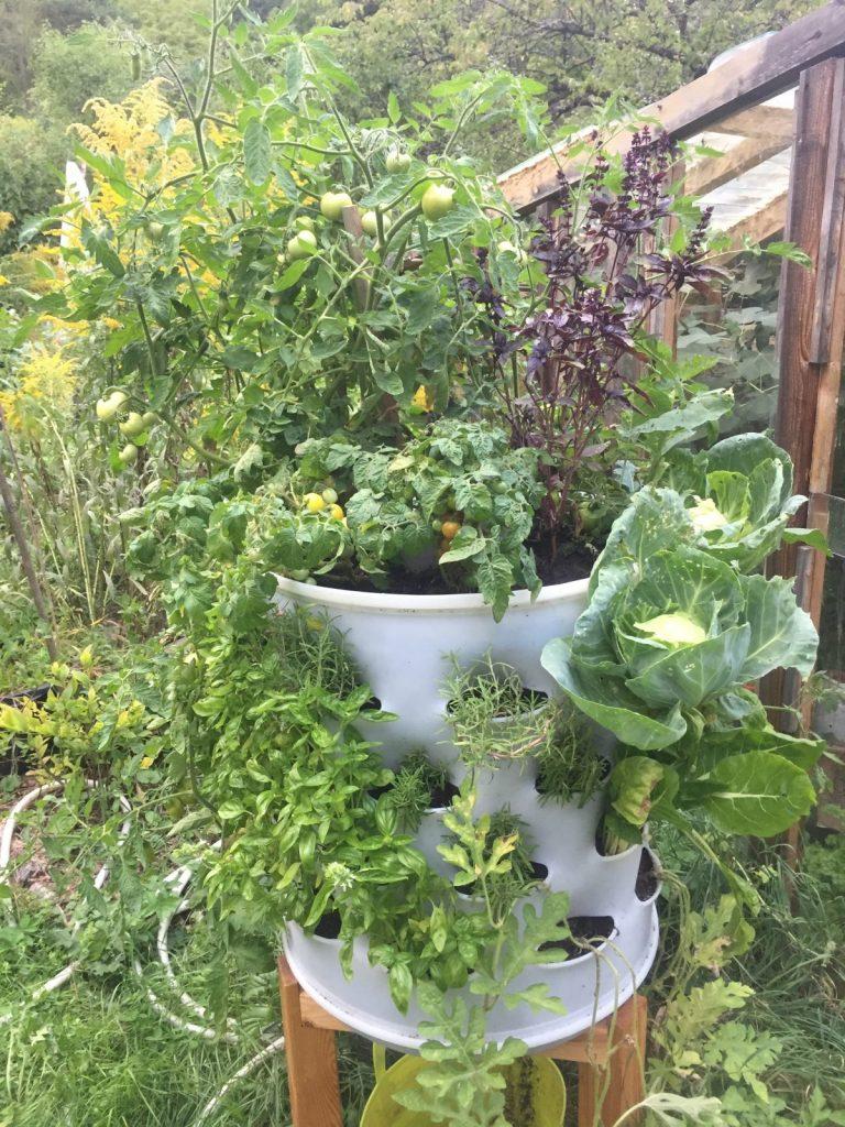 Zelí Berdíkovité