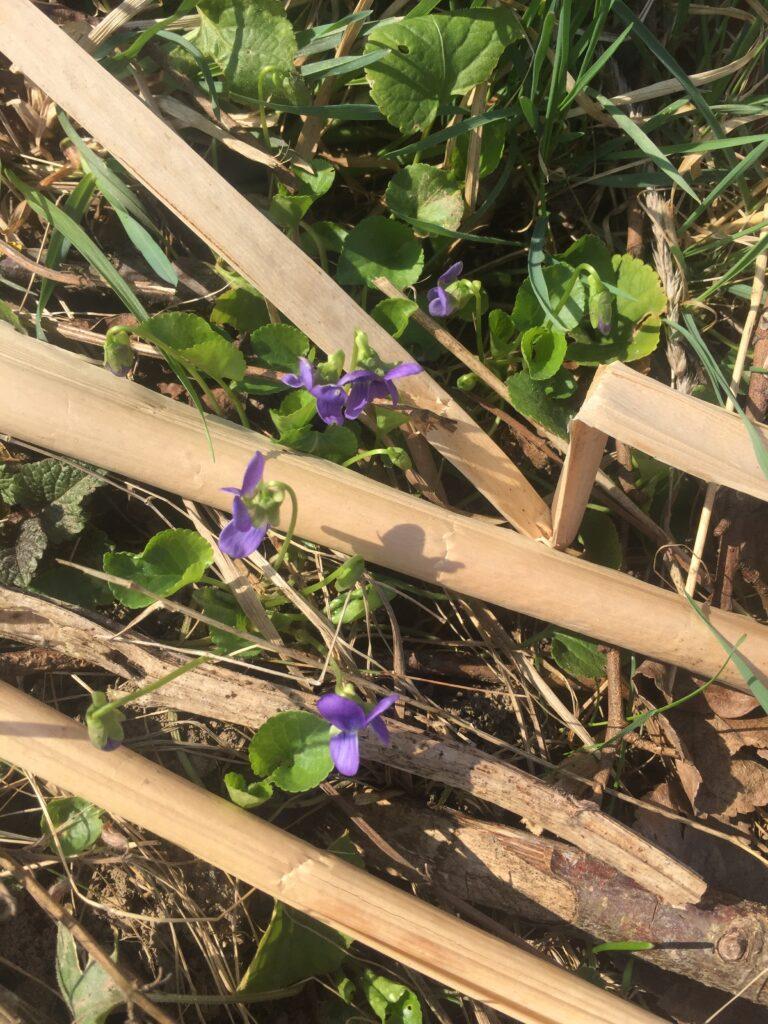 Naše violky