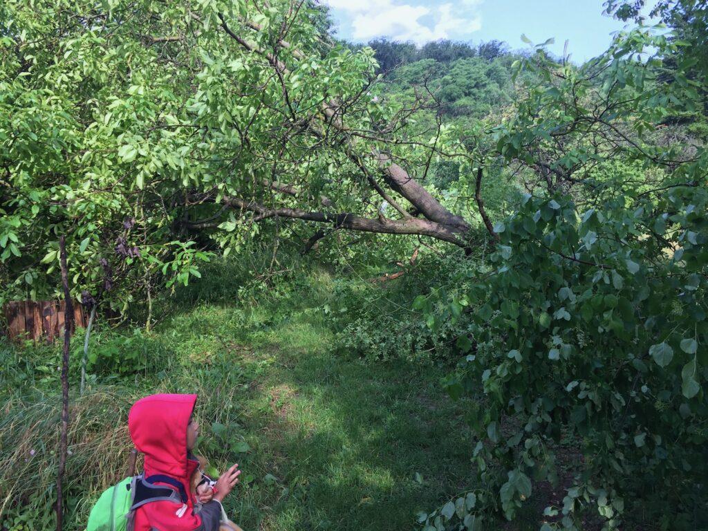 Vzrostlý ořech neodolal náporu silného větru - vyvrácen z kořenů